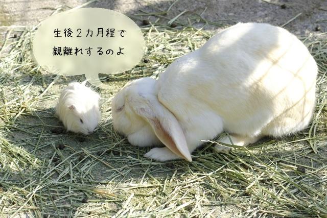ウサギの子育て