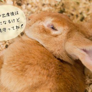ウサギの出産準備
