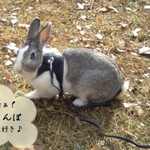 ウサギのさんぽ