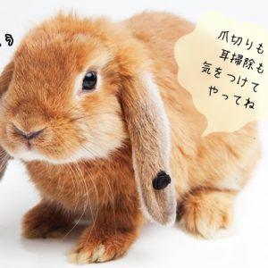 ウサギの体の手入れ