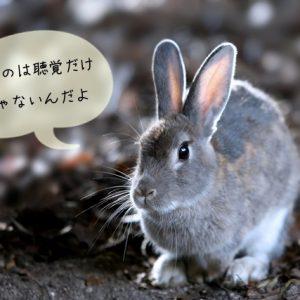 ウサギの五感の感覚はどのくらいか